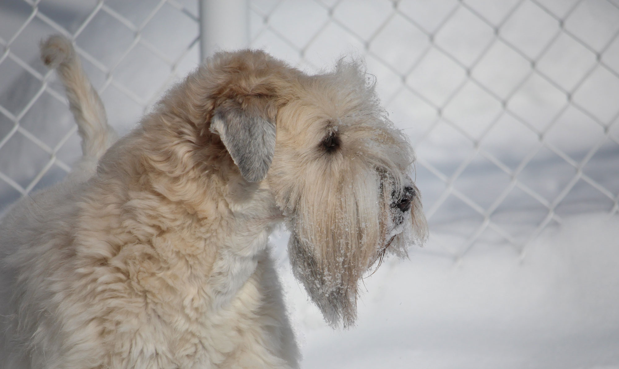 SCWTAC – The Soft-Coated Wheaten Terrier Association of Canada